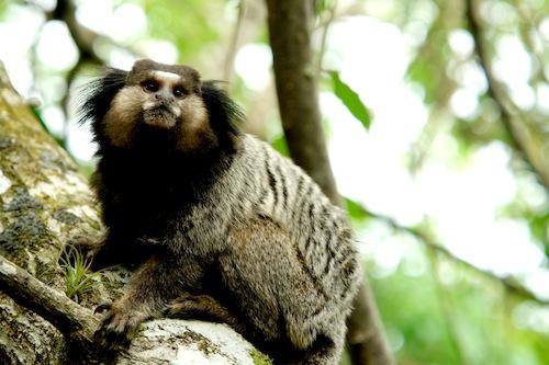 Macaco no seu Galho